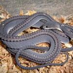 واحد من الثعابين الأكثر مراوغة في الع...
