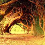 ممر من الأشجار الصنوبرية عمرها 1000 ع...
