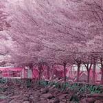 أشجار الكرز الوردية في اليابان