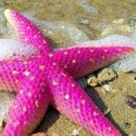 نجم البحر الوردي... يا لجمال الطبيعة