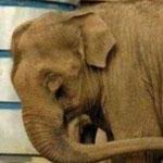 عندما يمسك الفيل ذيله بخرطومه يعني ذل...