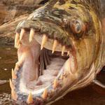 سمكة النمر تعتبر هذه السمكة واحدة من ...