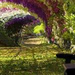 زهور الويستريا ، حديقة كواتشي فوجي ، ...