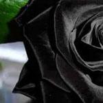 الورود السوداء الوحيدة في الطبيعة في منطقة هالفيتي بـ تركيا
