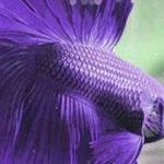 سمكة بيتا على شكل نصف القمر البنفسجي