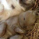 أرنبان صغيران نائمان