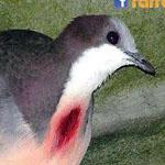 طيور اللوزون ذوي القلوب النازفة تعيش ...