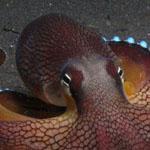 صورة مدهشة لأخطبوط جوز الهند الذي يوج...