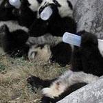 صورة رائعة لصغار دب الباندا يشربون ال...