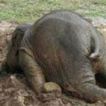 الفيل المراهق الغاضب يرمي نفسه