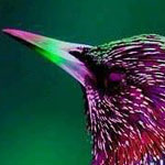 طائر الزرزور الأوروبي