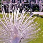 الطاووس الأبيض، توسكانا، إيطاليا