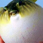 سمكة Puffer fish تقوم بنفخ نفسها عند ...