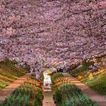 صورة مدهشة لأشجار الكرز في مدينة يوكو...