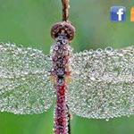 ندى الصباح عندما يلامس حشرة اليعسوب !!