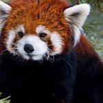 الباندا الأحمر