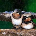 صوره رائعه لطير يحمى زوجته من المطر.