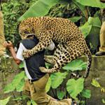 أحد النمور يهاجم حارس الغابة في الهند
