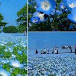 زهور حدائق هيتاشي الجميلة - اليابان