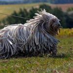 كلب الكوموندور
