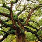 شجرة البلوط في ولاية كاليفورنيا