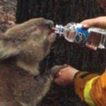 رجل إطفاء يعطي الماء إلى كوالا خلال ح...