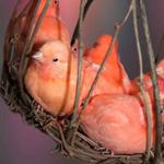 لقطه رائعه لمجموعه من عصافير الحب الملونه