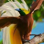احد طيور الجنه الرائعه وهذا النوع يسم...
