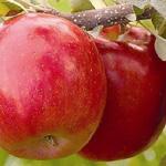 ثمرات التفاح على الشجر قبل قطفها