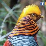 الدراج الذهبي طائر بديع الألوان وهادئ وهو من اكثر الطيور شعبية