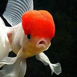 السمكة ذات القبعة الحمراء