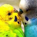 طيور الحب ويا عيني على الحب
