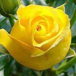 الورده الصفراء  تمثل السعاده والغيره في الحب
