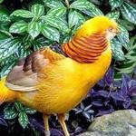طائر الدراج الذهبي من اجمل الطيور الملونة في العالم