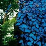 الفراشات الزرقاء في غابات الامازون المطيرة في البرازيل