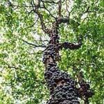 صورة لشجرة العنب البرازيلية