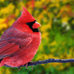 طائر الكاردينال الشمالي