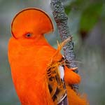 طائر البرقوق من نوع جوينان