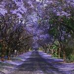 جاكارانداس، جنوب أفريقي