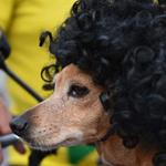 كلب في أزياء مشجعي البرازيل