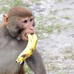ههه صورة لقرد يسرق الموز