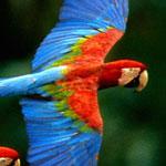 طائر الماكو