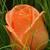 صباح الورد الجوري