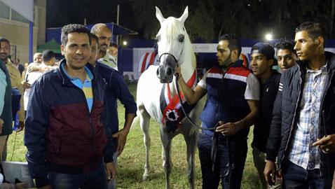 صور الخيول الفائزة بمسابقة جمال الخيول العربية: جيفارا، غزال وحفيد اللهب