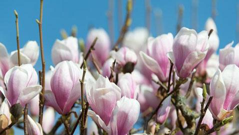 صور رائعة .. زهور ساحرة وعطرة تتفتح في فصل الربيع