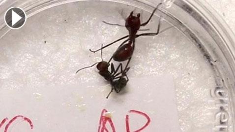 تعرفوا على النمل المتفجر.. يضحي بنفسه لتعيش فصيلته