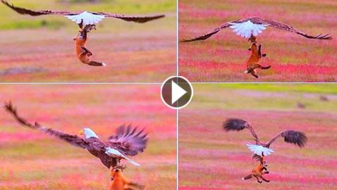 فيديو مثير.. نسر يهجم على ثعلب لينتزع منه أرنباً اصطاده