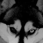 المنافقون يأكلون مع كل ذئب