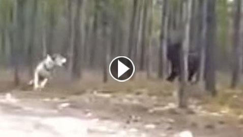 الأسطورة الخيالية واقع.. هجوم مستذئب حقيقي على كلب في أمريكا! فيديو