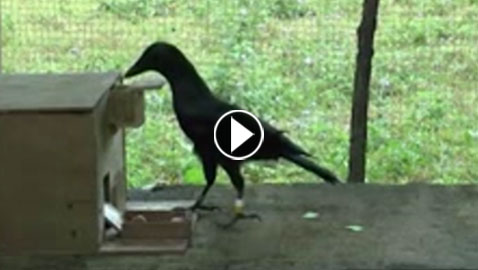 بالفيديو.. فيديو يكشف ذكاء الغربان وذاكرتها القوية